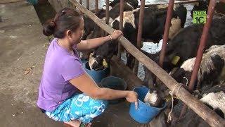 Nuôi bò sữa đực lấy thịt