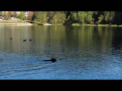 Bear in the city of Coquitlam swimming in Lafarge Lake
