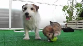 母はジャックラッセルテリア 父はトイプードル(白) の子犬達です。詳し...