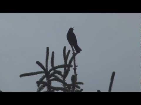[fHD] Blackbird Singing - Mr Blackbird sings to his friends - Die Amsel zwitschert