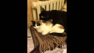 Котик лижет свою киску