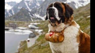 Saint Bernard Köpek Özellikleri - osman çakır