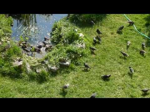 Flock of Starlings in my garden.