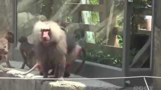 Funny Monkey Mating