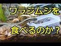 【実況】トカゲはワラジムシを食べるのか!?[ Lizard ]