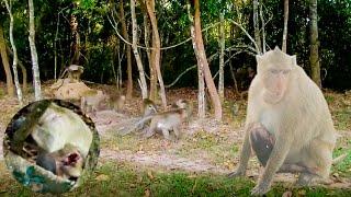 Baixar Monkey wars party - Bravo! monkey bite each other - សង្គ្រាមបក្សស្វា