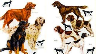 Охотничьи собаки Происхождение породы и воспитание Собаки от А до Я DOGS FROM A TO Z
