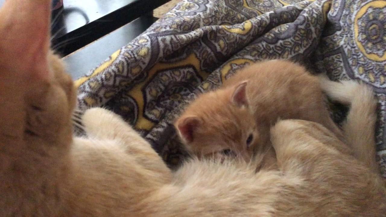Baby kitten nursing. Sucking sounds. Baby kitten and momma ...