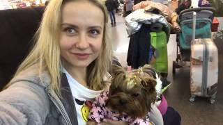 ПЕРЕЛЕТ С ЙОРКШИРСКИМ ТЕРЬЕРОМ✈️🐶 документы, справки, прививки для перелёта собаки