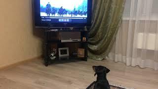 Собака любит смотреть телевизор