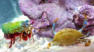 giant-blue-crab-vs-giant-mantis-shrimp-epic-battle-royale