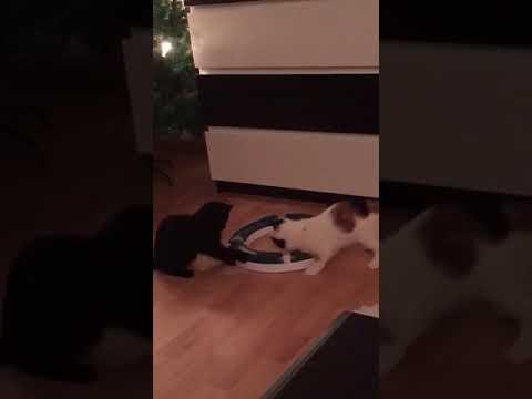 Bonnie & Clyde  - Happy Cats - Dank der Spielschiene von Catit Senses