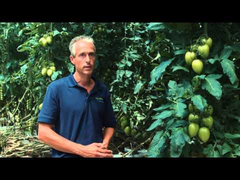 The Life of a Tomato - NatureFresh Farms