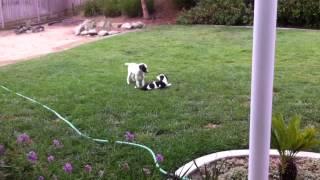 Rescue Dalmatian Puppies