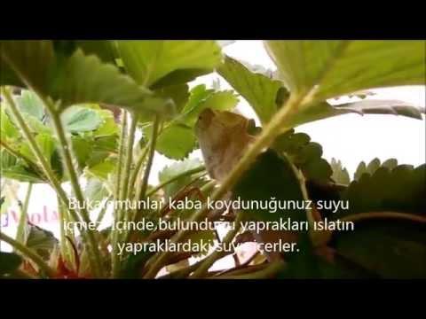 Bukalemunlar ne yer?, Bukalemunlar nasıl su içer?, chameleon drink water
