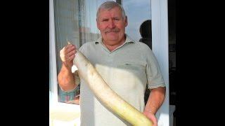 Как я выращиваю дайкон
