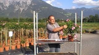 gartentipp oleander umpflanzen yourepeat. Black Bedroom Furniture Sets. Home Design Ideas