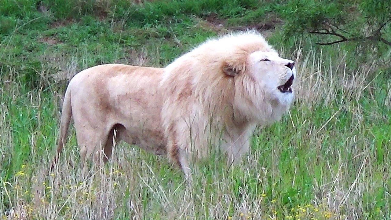 Image result for White Lion Roaring