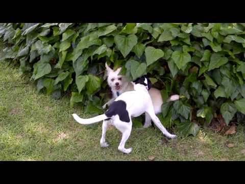 Rat Terrier and Chihuahua Wrestling Match