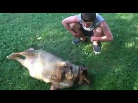 Fat Dog Beagle German Shepard Break Dancing With His Brother Youtube