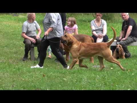 Finnish Bloodhound Association  Competition for Best Male