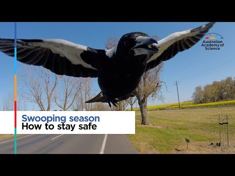 Swooping Season: How To Stay Safe