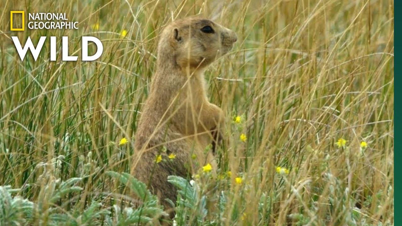Prairie Dog Pups Annoy Their Dad | Prairie Dog Manor