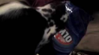 Angry Dog - English Springer Spaniel