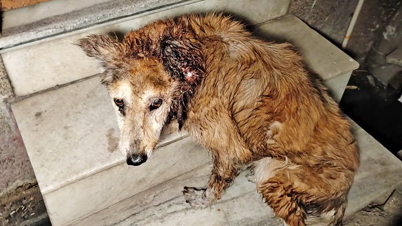 Download Deepest pain in wounded ear ends in smiles for rescued elderly dog.