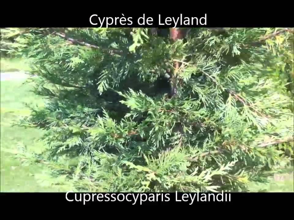 cypr s de leyland cupressocyparis leylandii plantes de. Black Bedroom Furniture Sets. Home Design Ideas