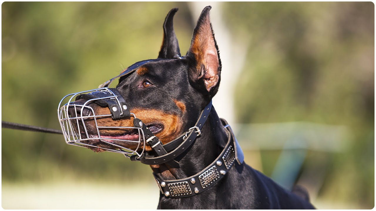 Doberman on a beach in Wire Basket Dog Muzzle for Training and Walking