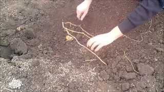 Укрытие молодого куста винограда(Можно обработать лозу и землю раствором соды и соли на 10 л. воды 10 ст.ложек поваренной соли и 5 ложек соды., 2014-10-21T15:36:37.000Z)