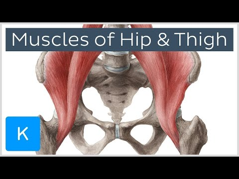Muscles of the Hip and Thigh - Human Anatomy | Kenhub