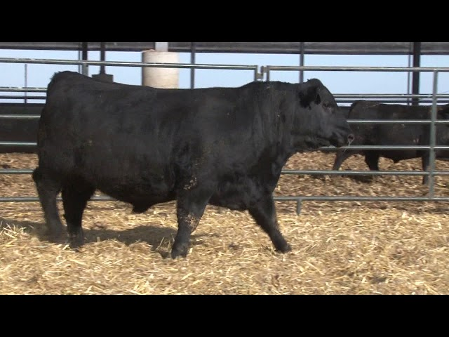 Schiefelbein Angus Farms Lot 116