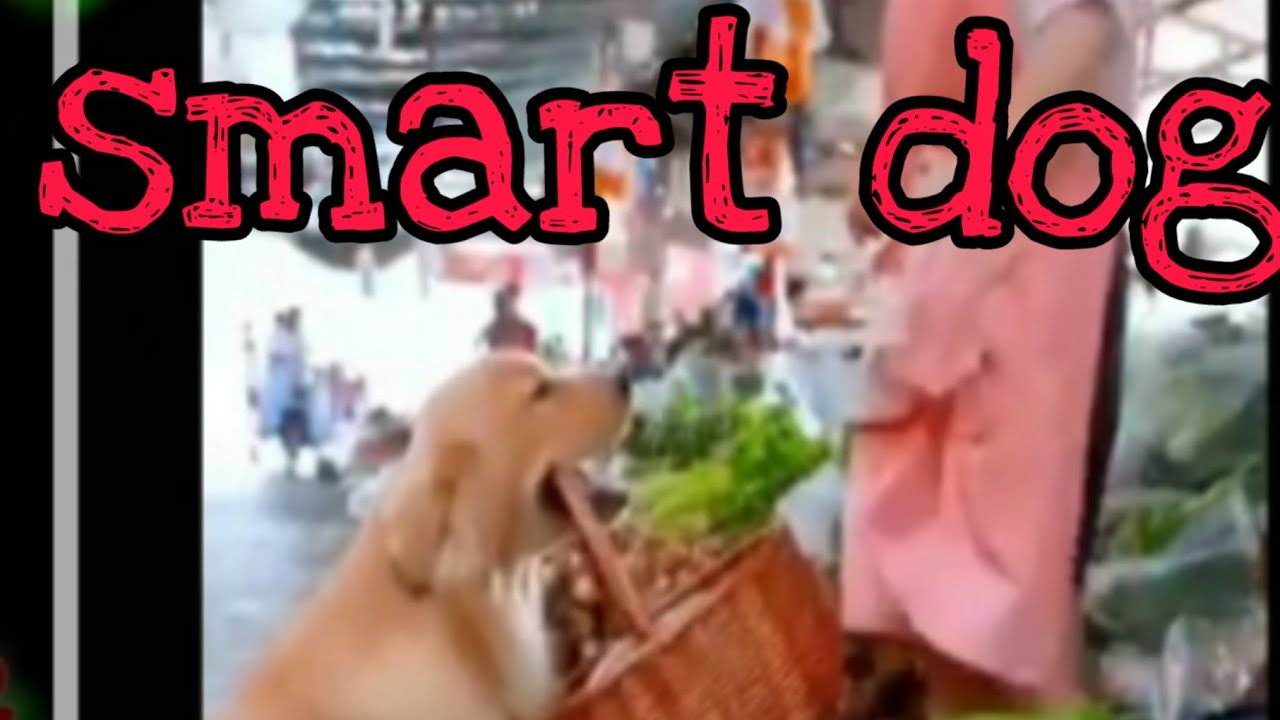 smart dog ឆ្កែឆ្លាតគួរអោយស្រលាញ់ មើលហើយចង់បានមកចិញ្ចឹមម៉ង