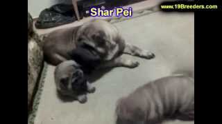 Sharpei, Puppies, For, Sale, In, Minneapolis, Minnesota, Mn, Inver Grove Heights, Roseville, Cottage