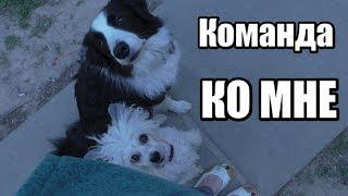 """Как научить собаку команде """"КО МНЕ"""" - Дрессировка собак - Понять собаку"""