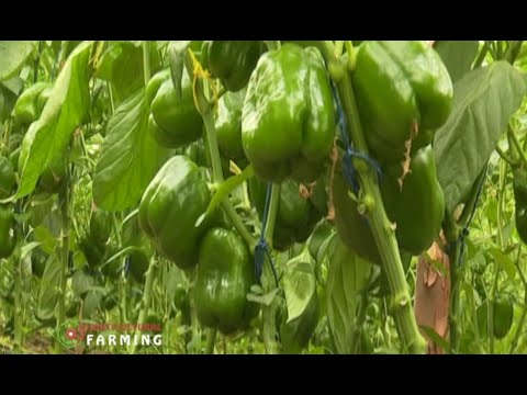 Variety, facts and how to grow Capsicum (Pilipili Hoho) - Part 1