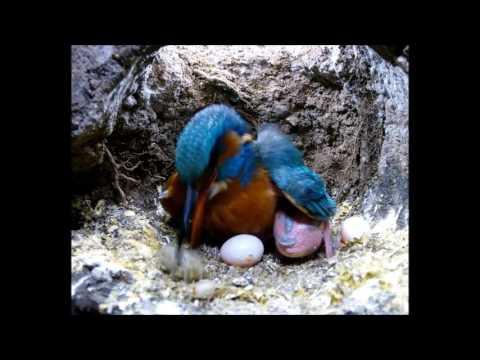 Robert E Fuller: Kingfisher Coughing Up A Pellet