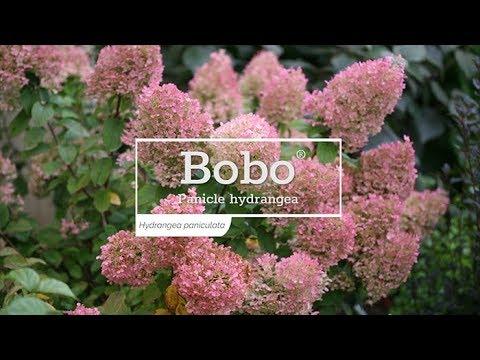 30 Seconds with Bobo® Hydrangea