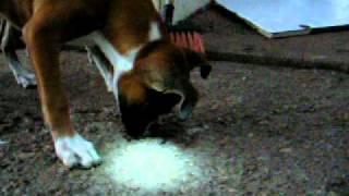Cadela Boxer X Minhoca