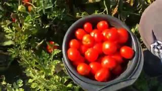 Собираем помидоры .Неслыханная урожайность.