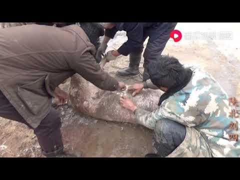 陕北刘四:陕北农村杀年猪,每个人的方法各不相同,给猪身上撒土你见过吗?