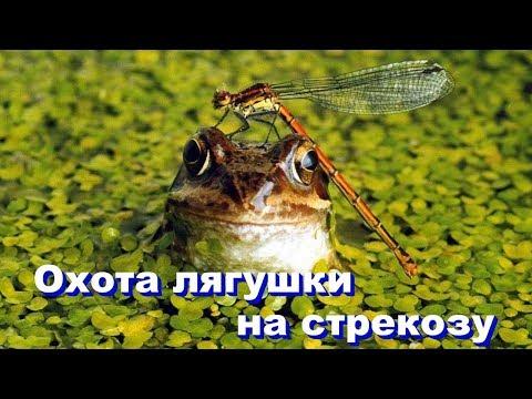 Охота лягушки на стрекозу