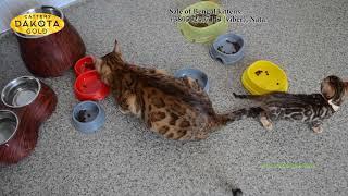 Обед  Питомник Dakota Gold, Харьков, бенгальские кошки, бенгальские котята
