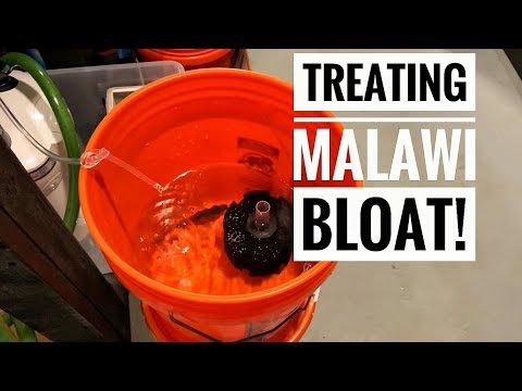 Treating The Dreaded MALAWI BLOAT! | How To Fix Fish Bloat