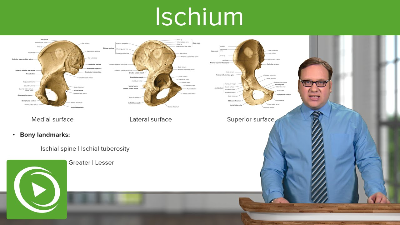 Ischium: Location, Body & Bony Landmarks – Anatomy | Medical Education Videos