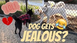 Dog Gets JEALOUS over My Dog, SO FUNNY! (MR STEAL YO GIRL)