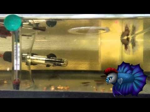 Betta Breeding Tank Setup Plus A Pair