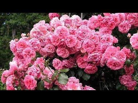 Английские розы Дэвида Остина, Тантау, Kordes, Noack. Розы в саду.